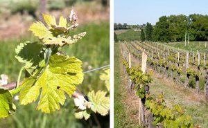 chateau-scylla-vin-vignoble-bordeaux-agathe-duchesne-blog-agatwe-vigne