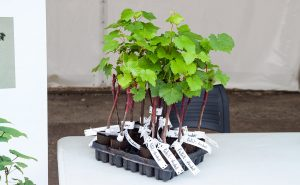 chateau-larose-trintaudon-medoc-agathe-duchesne-blog-vin-plant-vigne