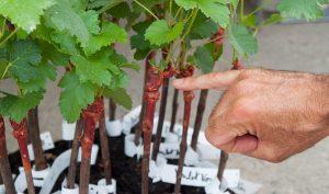 chateau-larose-trintaudon-medoc-agathe-duchesne-blog-vin-vigne-plant